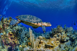 Turtle and coral by Julio Sanjuan
